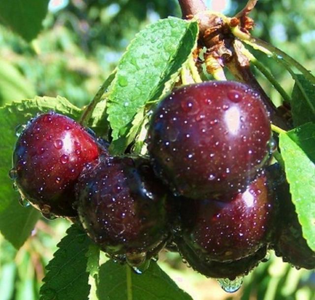 О лучших сортах вишни для Подмосковья: описание и характеристики, как сажать