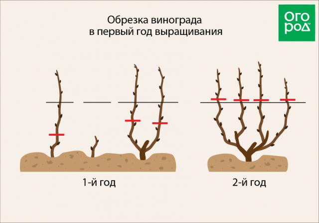 Мариновский виноград: описание, особенности, рекомендации по уходу и разведению