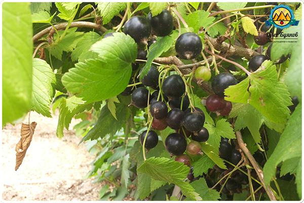 Черная смородина весной: опрыскивание, обработка, борьба с вредителями