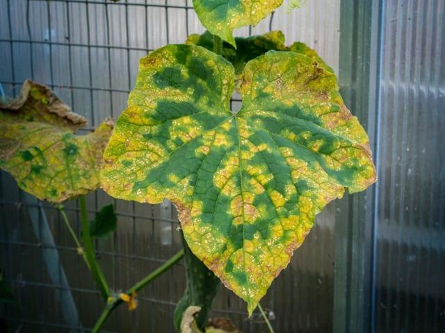 Причина пожелтения листьев у огурцов: что делать, как лечить, чем обработать