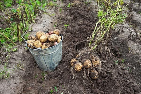 Для чего и когда окучивать картофель первый раз, как правильно делать