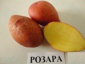 Лучшие сорта картофеля для Подмосковья: ранние, урожайные, ультраранние