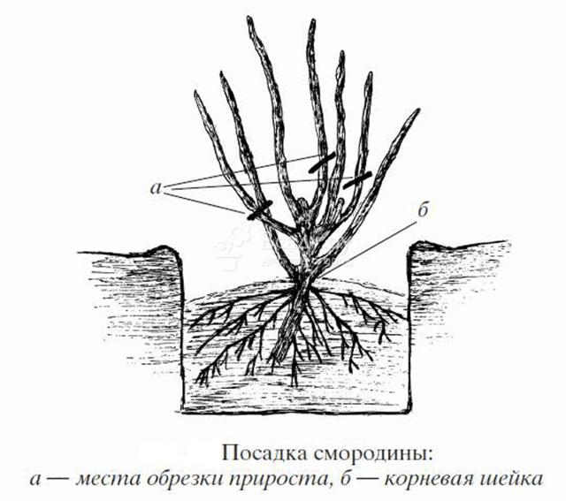 Черная смородина: описание и характеристики сортов, уход и выращивание