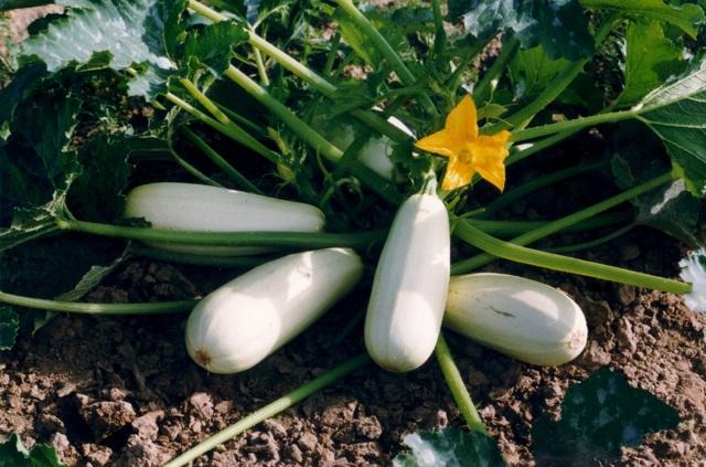 Все о сорте кабачков Якорь: описание, как выглядит, агротехника выращивания