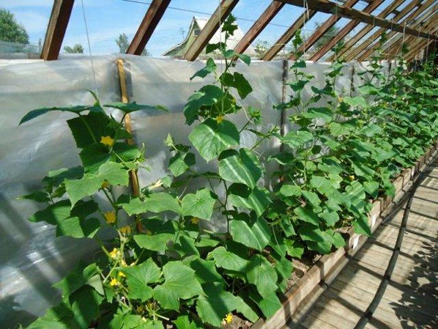 Об огурце Магнат: описание сорта, характеристики, технология выращивания