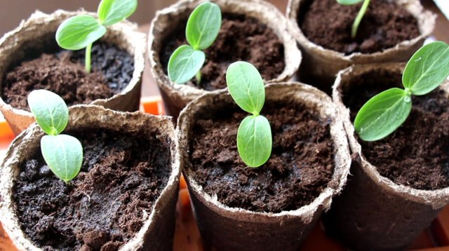 Об огурце Муровей: описание сорта, характеристики, технология выращивания