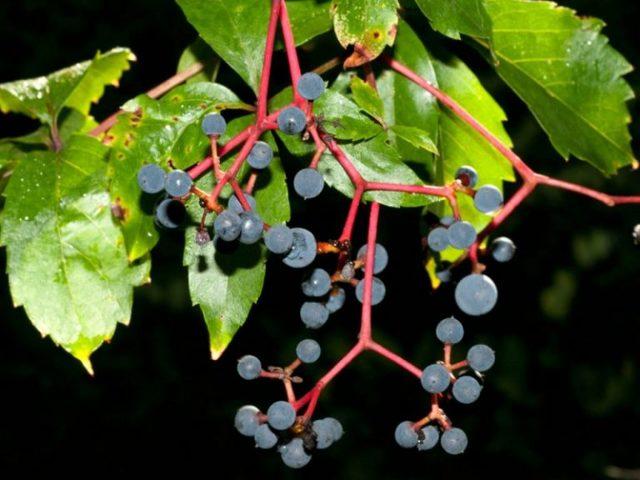 Всё про Дикий виноград, разновидности, народные названия: девичий, женский