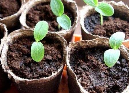 О том, как посадить огурцы в торфяные горшочки на рассаду