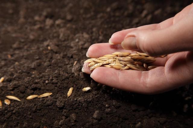 Об огурцах корнишонах: описание и характеристики сортов, выращивание