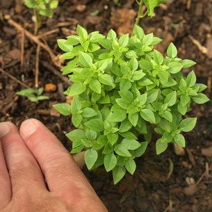 Все о базилике душистом: как выглядит, многолетнее или однолетнее растение