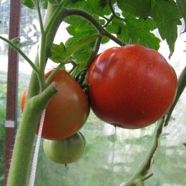 Астраханский: описание сорта томата, характеристики помидоров, посев