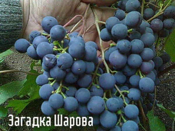Описание сорта винограда Загадка Шарова, разведение, посадка и уход