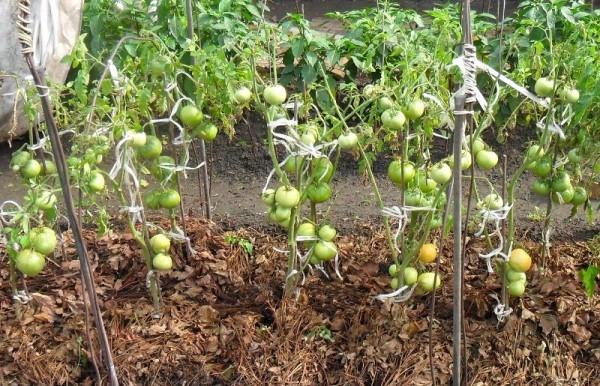 Когда, как часто поливать помидоры после высадки в грунт, как часто, как обрабатывать томаты