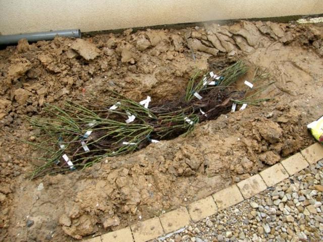 Как посадить жимолость весной саженцами: советы бывалых садоводов