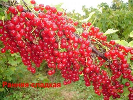Смородина красная Ранняя сладкая: описание сорта, посадка и уход