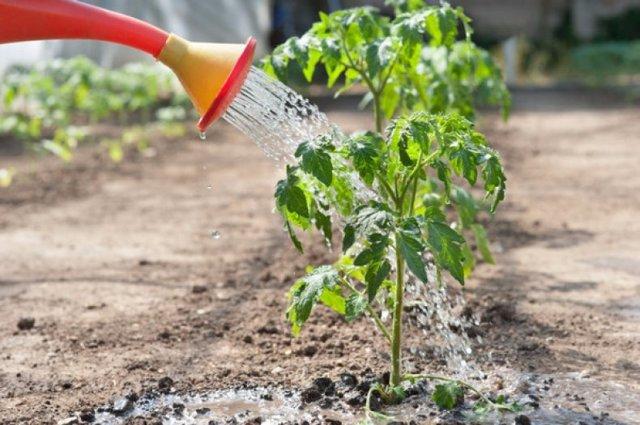Интуиция: описание сорта томата, характеристики помидоров, выращивание