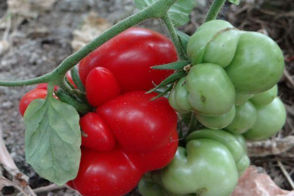 Вояж: описание сорта томата, характеристики помидоров, посев