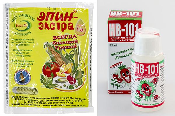 Чем обработать лук перед посадкой: соль и марганцовка для замачивания