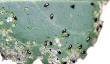 О капусте Мегатон: описание и характеристика сорта, как посадить рассаду