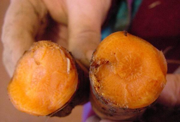 Как бороться с морковной мухой, черной гнилью: чем обработать грядки