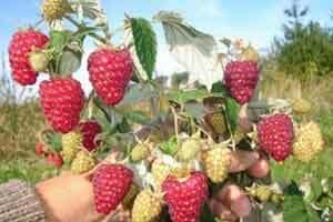 Ремонтантная малина: описание, разновидности, агротехника, ассортимент