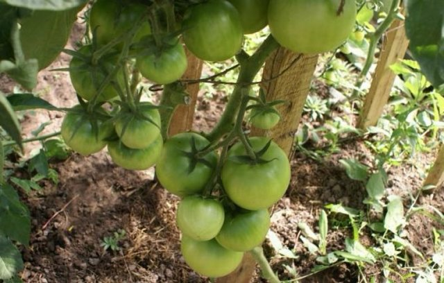 О томате Цунами: описание сорта, характеристики помидоров, посев