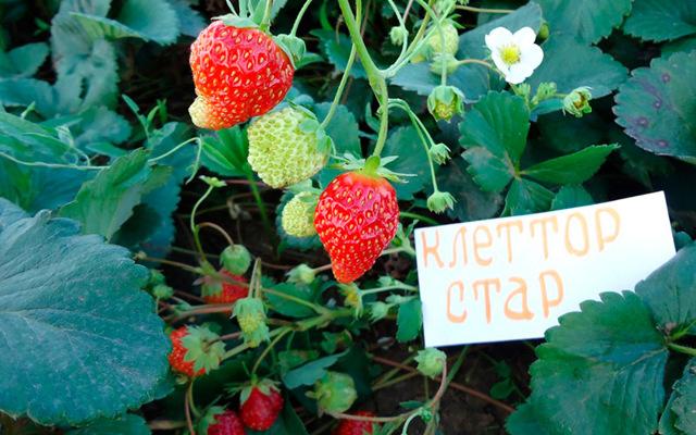 Особенности выращивания вьющейся клубники: как сажать семенами и ухаживать