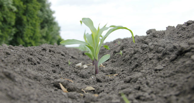 О посадке и уходе в открытом грунте за кукурузой: как правильно сажать, поливать