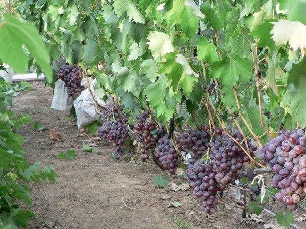 Описание винограда Низина, особенности сорта: преимущества и недостатки