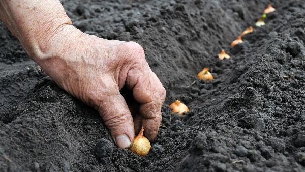 После каких культур можно высаживать лук в открытый грунт: после каких нельзя