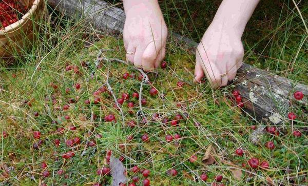 Описание клюквы: как выглядит, где растет, когда созревает, чтобы собирать