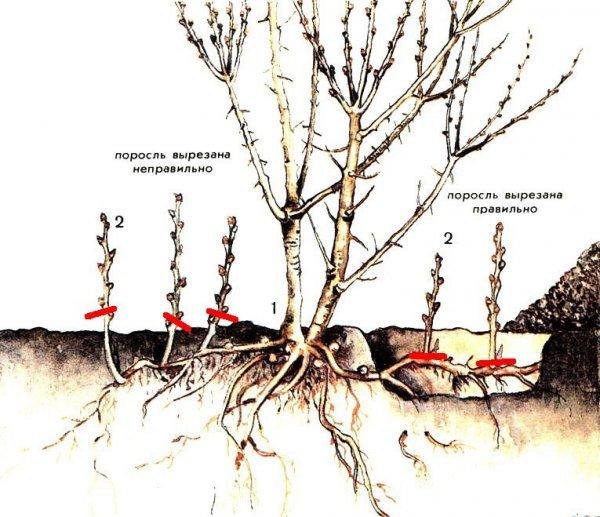 Как избавить участок от поросли вишни, выкорчевывание в саду, огороде