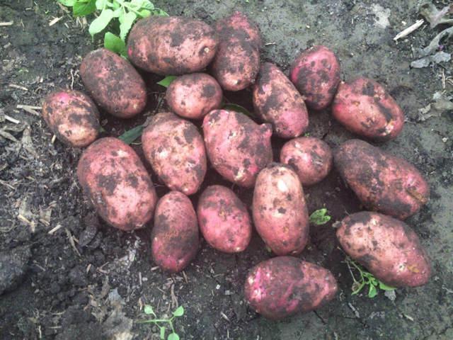 Ред Леди: описание сорта картофеля, характеристики, агротехника