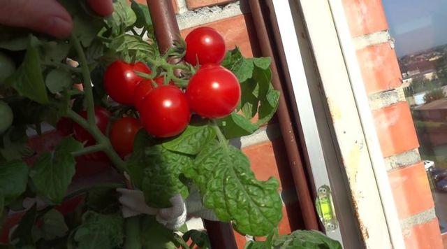 Черри блосэм: описание сорта томата, характеристики помидоров, посев