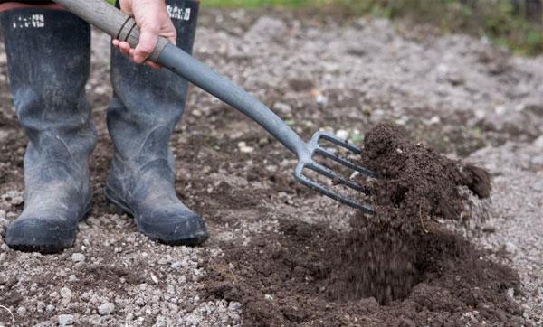 О малине ремонтантной: уход и выращивание, посадка и размножение