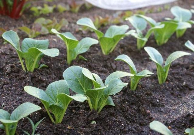 О выращивании пекинской капусты в открытом грунте: посадка и уход