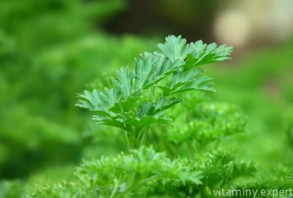 Все о петрушке: как выглядит, полезные свойства, витамины и микроэлементы