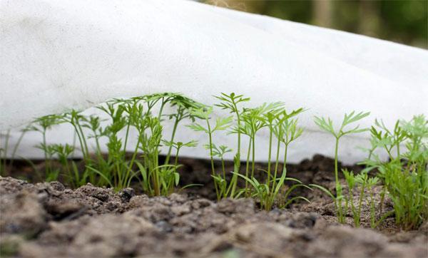 Как посеять морковь чтобы быстро взошла, как правильно сажать