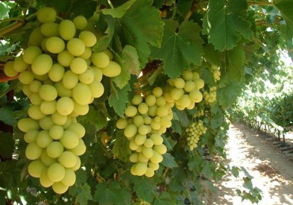 Описание сорта винограда Преображение, характеристики, преимущества и недостатки