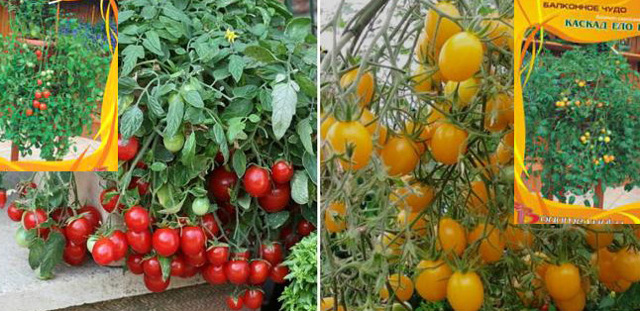 О томате ампельном Тигровом: характеристики сорта, уход и выращивание