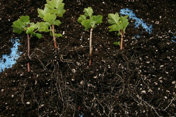 Смородина Экзотика: описание и характеристики сорта, уход и выращивание