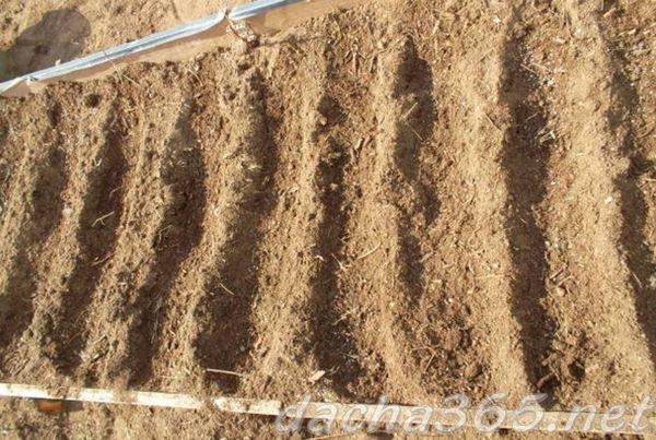 Все о мангольде: что это за растение, выращивание и уход в открытом грунте