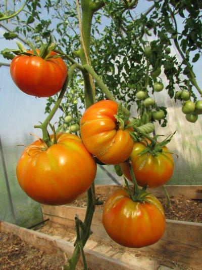 Бычий лоб: описание сорта томата, характеристики, агротехника