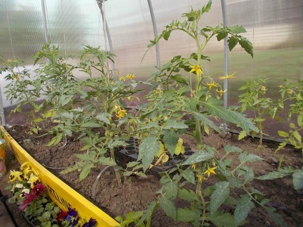 Как правильно поливать помидоры в теплице и в открытом грунте, и как часто это делать