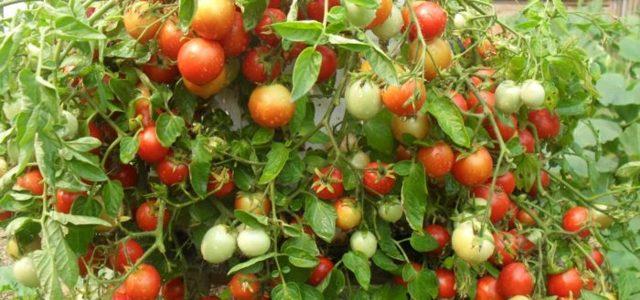 Веселый Гном: описание сорта томата, характеристики помидоров, посев