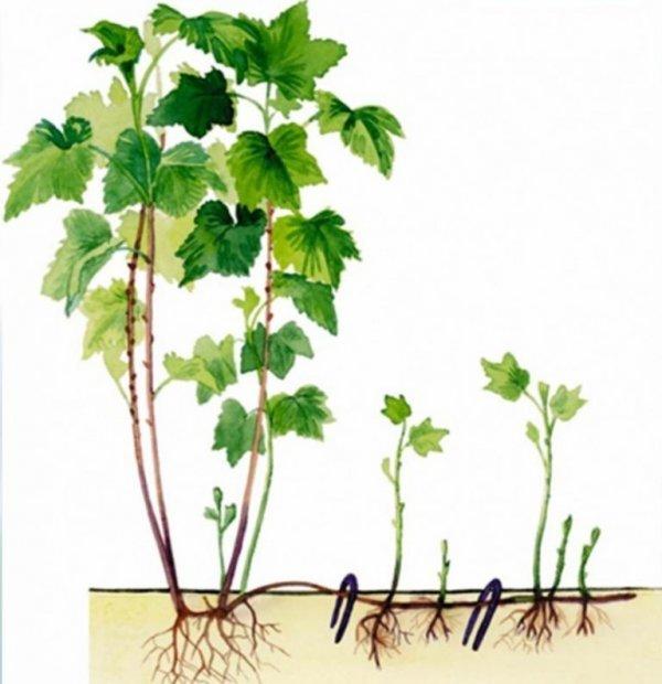 Смородина Лентяй: описание и характеристики сорта, уход и выращивание