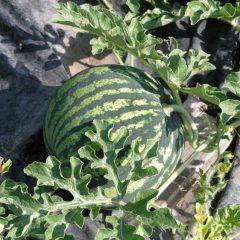 Способы подкормки арбузов и дынь для быстрого роста: чем удобрить рассаду