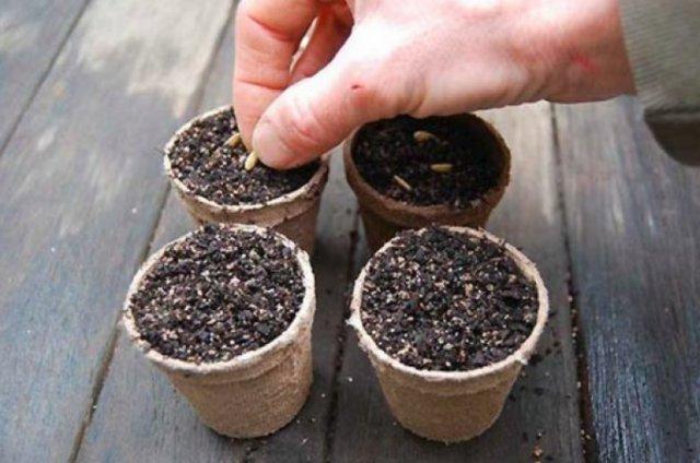Все о посеве огурцов в опилки на рассаду: посадка горячим способом