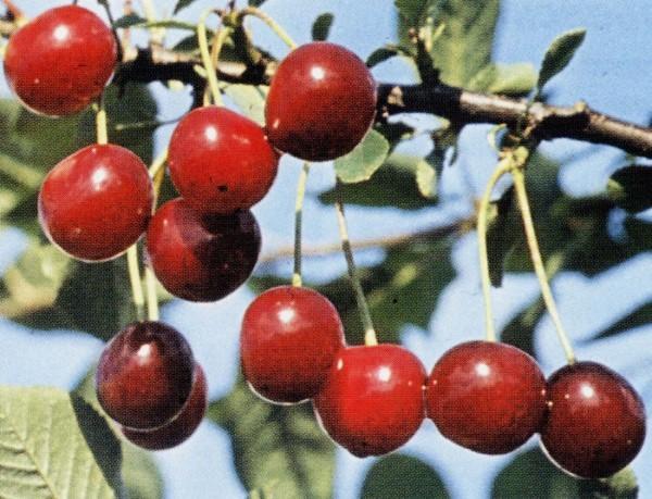 О вишне Малиновка: характеристика и описание сорта, выращивание и уход