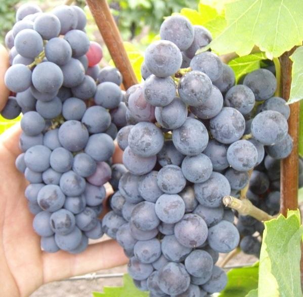 Описание сорта винограда Левокумский, характеристики сорта, устойчивость к морозам
